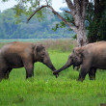 Elephants in love, Srí Lanka — Stock Photo #27584535