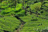 Tea plantations in Srí Lanka — Stock Photo