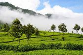 Tea plantations in mist, Srí Lanka — Stock Photo