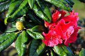 Dettaglio del rododendro — Foto Stock