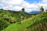 Coffee plantations, El Salvador — Stock Photo