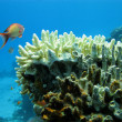 Stock Photo: Coral reef with hard coral onn bottom of red sea