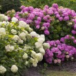 Bushes of lilac and white hortensias in bloom — Stock Photo #12201076