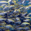 Shoal of yellowfin goatfishes in red seunder coral reef — Stock Photo #12260364