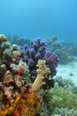 Colorful coral reef with hard and soft corals on the bottom of red sea — Stock Photo