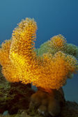 Coral reef with yellow soft coral on the bottom of red sea — Stock Photo