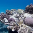Coral reef with stony corals on the bottom of red sea — Stock Photo