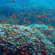 Stock Photo: Coral reef with great hard coral shoal of anthias