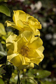 Two yellow garden roses in the garden on green background- close up — Stock Photo