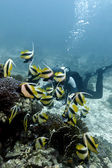 Coral reef with buterflyfishes and diver in red sea — Stock Photo