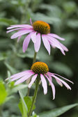 Flowers of Echinacea purpurea in the garden on green background — Stock Photo