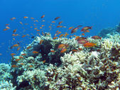 Coral reef with hard corals and exotic fishes anthias — Stock Photo