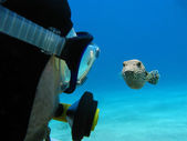 Scuba diver and pufferfish on the bottom of red sea — Stock Photo