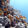 Stock Photo: Coral reef with hard corals and exotic fishes Anthias