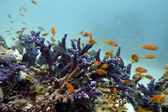 Coral reef with blue hard coral and exotic fishes Anthian on the bottom of red sea — Stock Photo