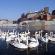 Stock Photo: Herd of swams on the visula riwer in cracow with wawel in castel in the winter
