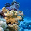 Coral reef with great soft coral on the bottom of red sea — Stock Photo