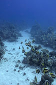 Coral reef with shoal of butterfyfishes on the bottom of red sea — Stock Photo
