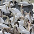 Herd of swans flying in Vistula river in cracow in winter — Stock Photo