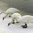 Three swans eating dry food on the boulevard of river vistula in cracow in winter — Stock Photo