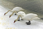 Three swans eating dry food on the boulevard of river vistula in cracow in winter — Zdjęcie stockowe