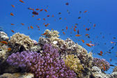 Coral reef with soft and hard corals on the bottom of red sea in egypt — Stock Photo