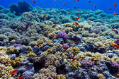 Colorful coral reef with hard corals on the bottom of red sea — Stock Photo