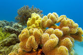 Coral reef with great yellow soft coral at the bottom of red sea — Stock Photo