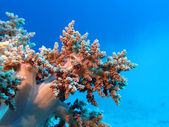 Coral reef with great soft coral at the bottom of tropical sea — Stock Photo