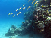 Coral reef with shoal of goatfishes on the bottom of tropical sea — Stock Photo