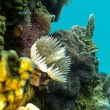 Coral reef with feather duster worms at the bottom of tropical sea - Stock Photo