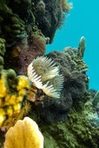 Coral reef with feather duster worms at the bottom of tropical sea — Stock Photo