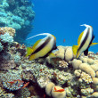 Stock Photo: Coral reef with couple of bannerfishes at bottom of tropical sea