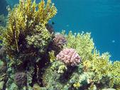 Coral reef med hårt och eld koraller på botten av tropiska havet — Stockfoto