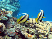 Coral reef with couple of bannerfishes at the bottom of tropical sea — Stock Photo