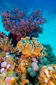 Coral reef with great hard and soft corals at the bottom of tropical sea — Stock Photo