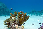Coral reef with hard coral and exotic fishes white-tailed damselfish at the bottom of red sea — Stock Photo