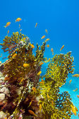 Coral reef with great yellow fire coral and fishes at the bottom of redl sea — Stock Photo
