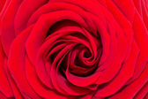 Single flower of single red rose - closeup — Stock Photo