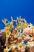 Coral reef with fire coral at the bottom of tropical sea — Stock Photo