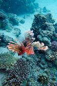Korallenriff mit feuerfische über der talsohle des tropischen meeres — Stockfoto