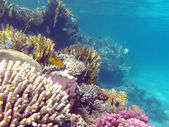 Colorful coral reef with hard corals at the bottom of tropical sea — Stock Photo
