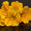 Bundle of beautiful spring  flowers of yellow primula on black background - Stock Photo