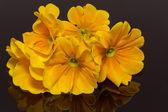Bundle of beautiful spring flowers of yellow primula on black background — Stock Photo