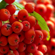 Cluster of red  rowanberry in the garden - closeup - Stock Photo
