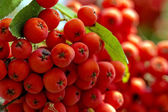 Cluster of red rowanberry in the garden - closeup — Stock Photo