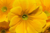 Beautiful spring flowers of yellow primula -close up — Stock Photo