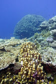 Coral reef with great hard corals at the bottom of tropical sea — Stockfoto