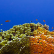 Stock Photo: Beautiful yellow hard coral at bottom of tropical sea