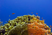 Beautiful yellow hard coral at the bottom of tropical sea — Stock Photo